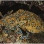 54520-work-Blue_ringed_octopus